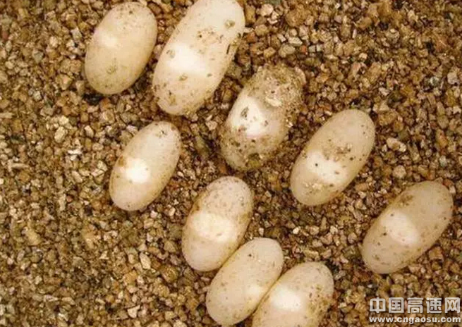 蛭石孵化龟蛋有哪些优点,孵化用蛭石