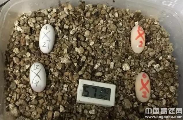 蛭石到底怎么搞才能孵化好