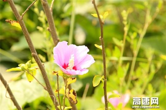 木槿花�_