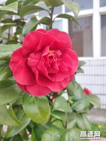 清晨,推开窗,明艳的红山茶,不知何时已经绽放了花蕊。