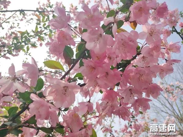春风拂面,香风阵阵,垂丝海棠开得热闹异常。