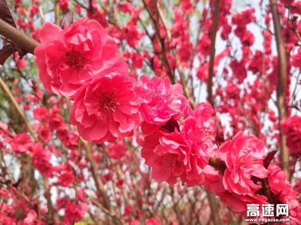 遥想苏护当年踏青,人面桃花相映红。