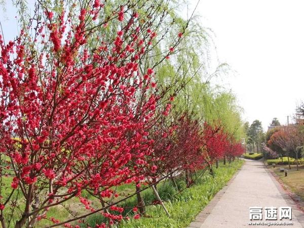 一树树火红的桃花与一树树碧绿柳条相互映衬,满目春光,跃然纸上。