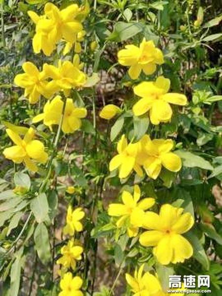 亮黄的迎春花压弯了嫩绿的枝条,像倾泻而下的花瀑。