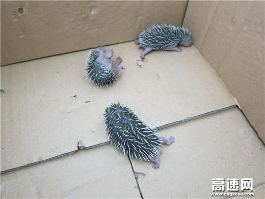 甘肃西峰高速凤口主线收费站爱心救助国家二级保护动物三只野生刺猬