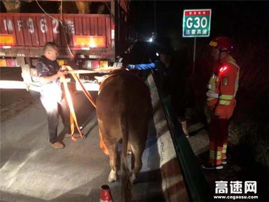 高速路上现活牛 救援大队伸援手