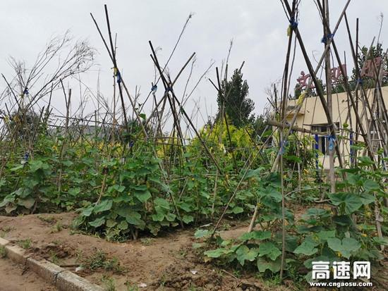 河北沧廊(京沪)高速姚官屯收费站共建小菜园喜迎大丰收