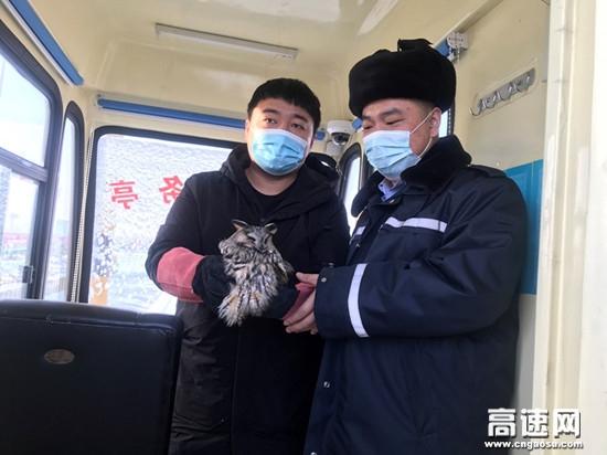 """内蒙古公路霍尔奇收费所救助国家二级野生动物""""猫头鹰"""""""